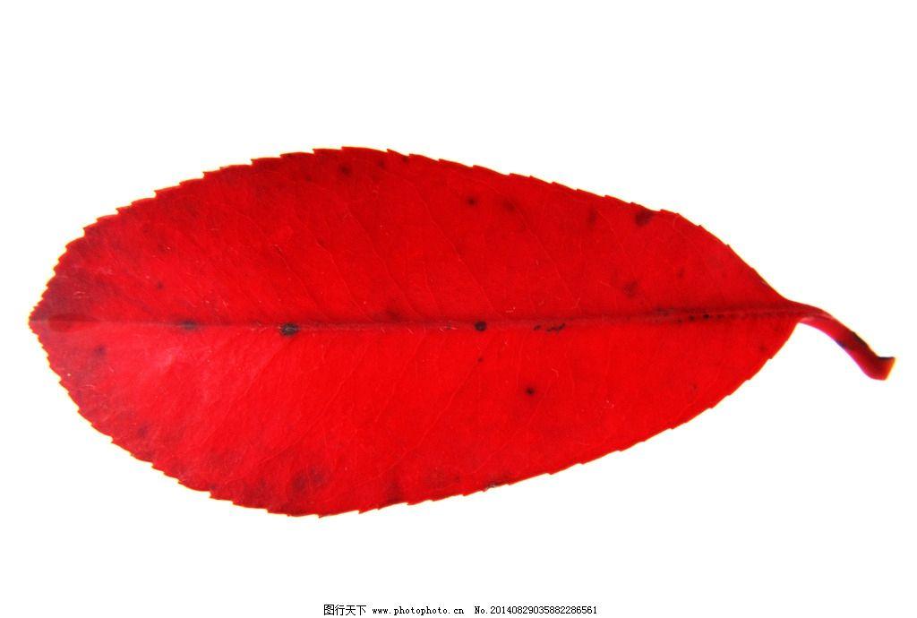 叶 叶子 秋叶 黄叶 落叶 树叶 一片叶子 一片秋叶 残叶 树木树叶 生物
