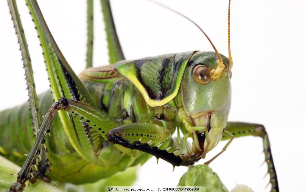 蝗虫 蚱蜢 草蜢 草螟 蚂蚱 昆虫 生物世界 昆虫 摄影 生物世界 昆虫