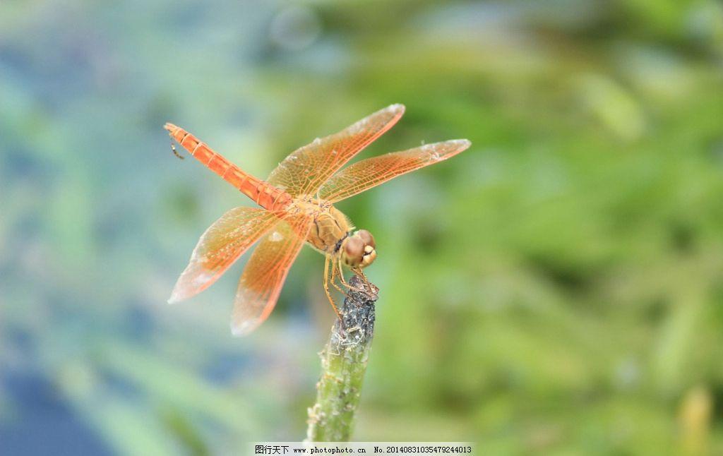 蜻蜓 可爱小动物 荷花蜻蜓 蜻蜓戏水 黄蜻蜓 昆虫 生物世界 照片 摄影