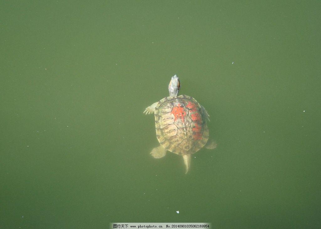 南普陀寺乌龟 厦门 放生池 朱砂字 野生动物 生物世界 摄影