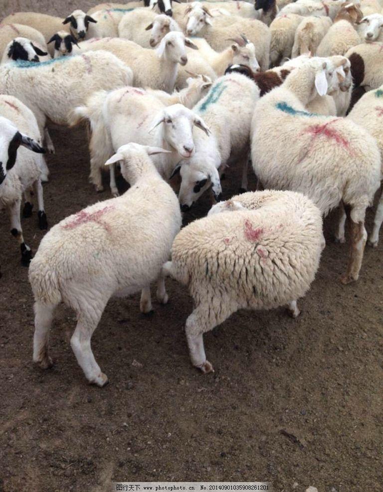 达茂草原羊 达茂 草原