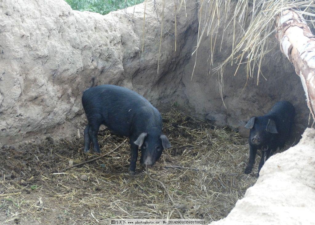 小黑猪 黑色 动物 幼猪 小猪 农村 乡村 猪棚 摄影