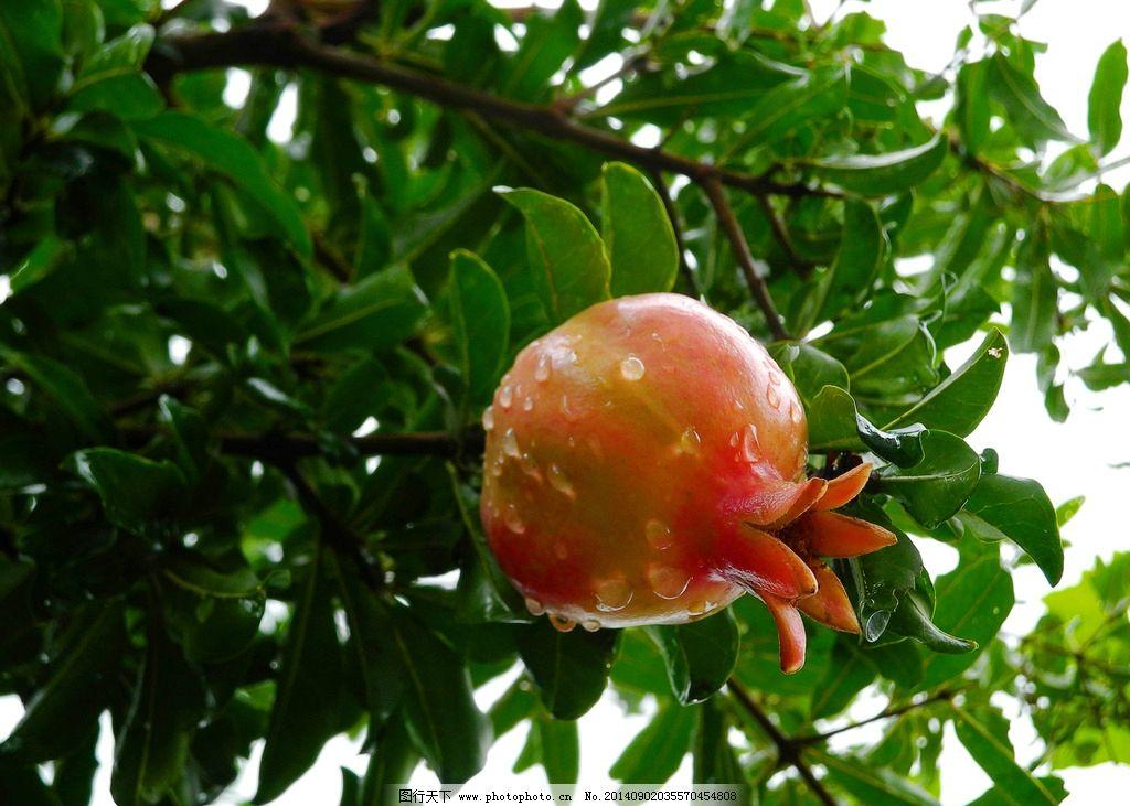石榴 生物植物 红色 绿色 雨后 娇艳欲滴 多子 特写 开口 水果