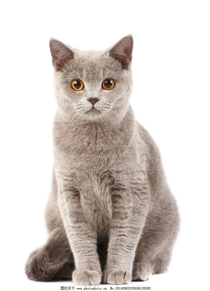 宠物猫 猫咪 喵星人 小猫 可爱 花猫 宠物 动物 家禽家畜 生物世界
