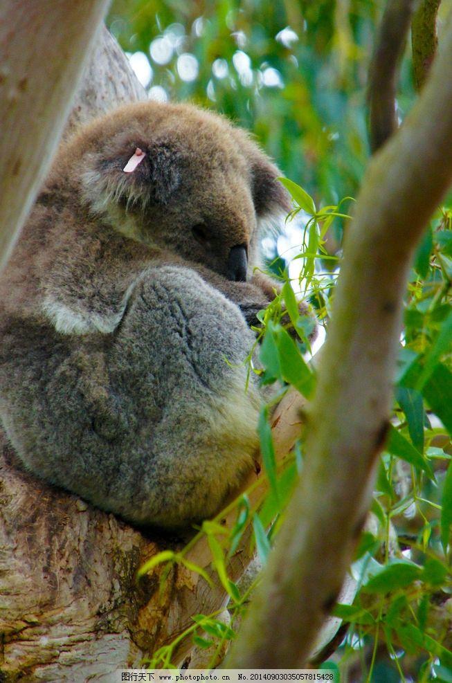 澳洲 塔斯马尼亚 考拉 摄影 旅游 风光 风景 国外风景 野生动物 生物