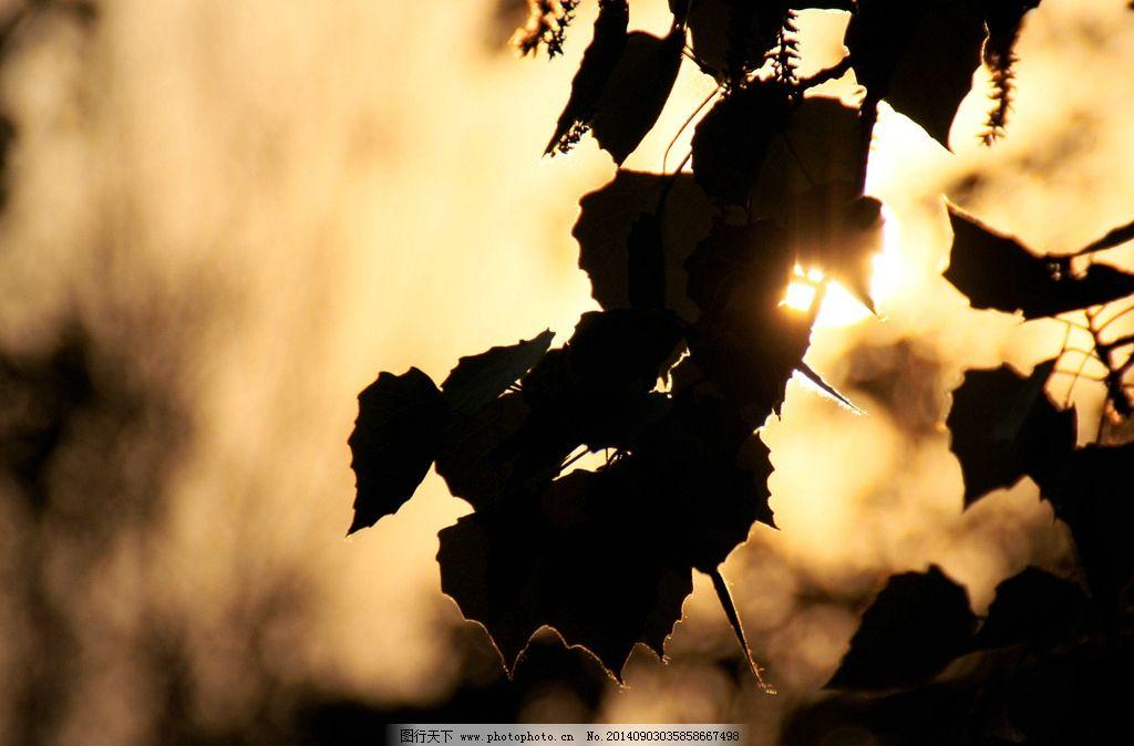 叶子 日落 黄昏 树叶 影子 树木树叶 生物世界  摄影 生物世界 树木