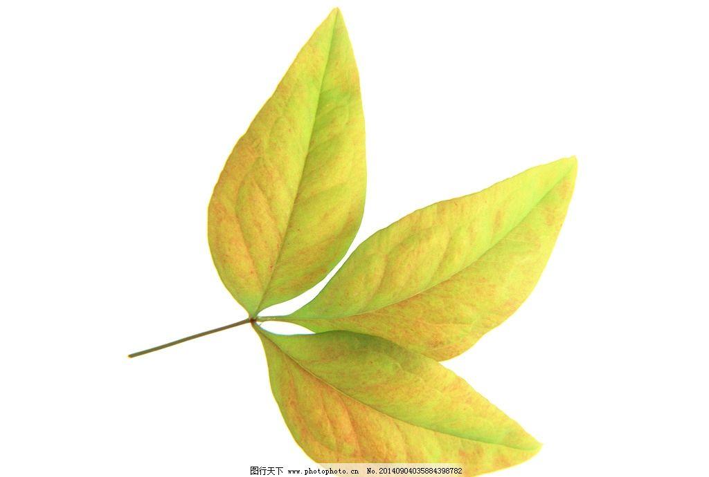 金黄叶子 树叶 树叶近摄 叶片 摄影