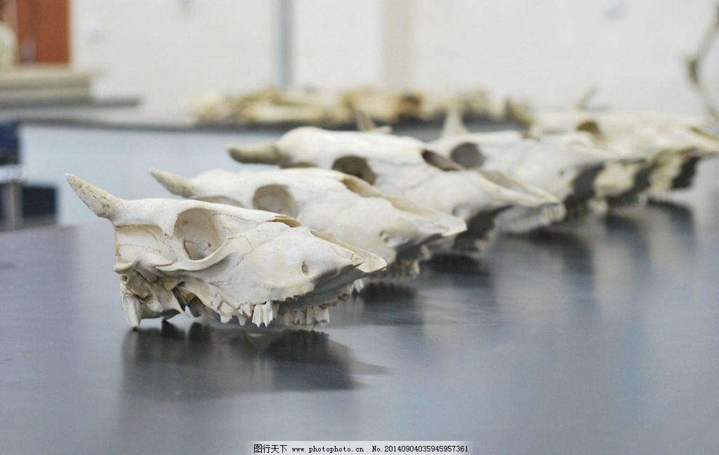 牛的骨骼结构图片