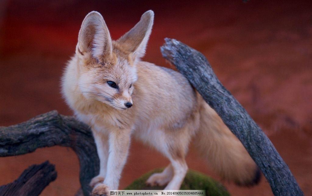大耳狐 狐狸 小狐狸 可爱 耳朵 犬 野生动物 生物世界 野生动物 摄影