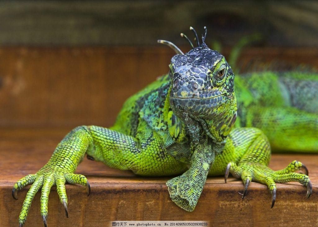 绿鬣蜥 蜥蜴 动物 爬行 高清写真 摄影