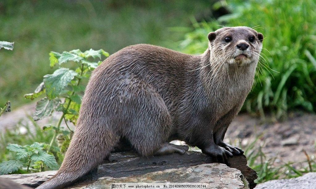 水獭 水貂 野生 捕鱼 水生 哺乳动物 生灵 野生动物 生物世界 野生