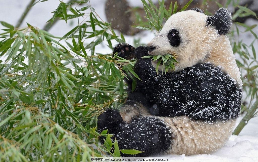 大熊猫 可爱 国宝 动物 摄影