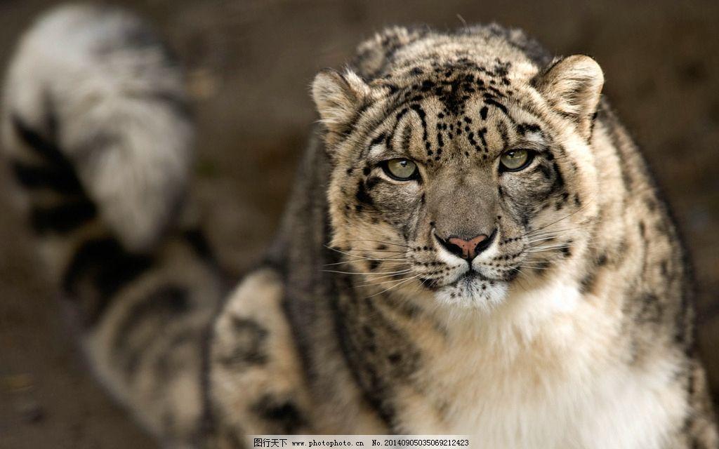 雪豹 豹子 猫科动物 野生动物 动物 猛兽 美丽 生物世界 野生动物