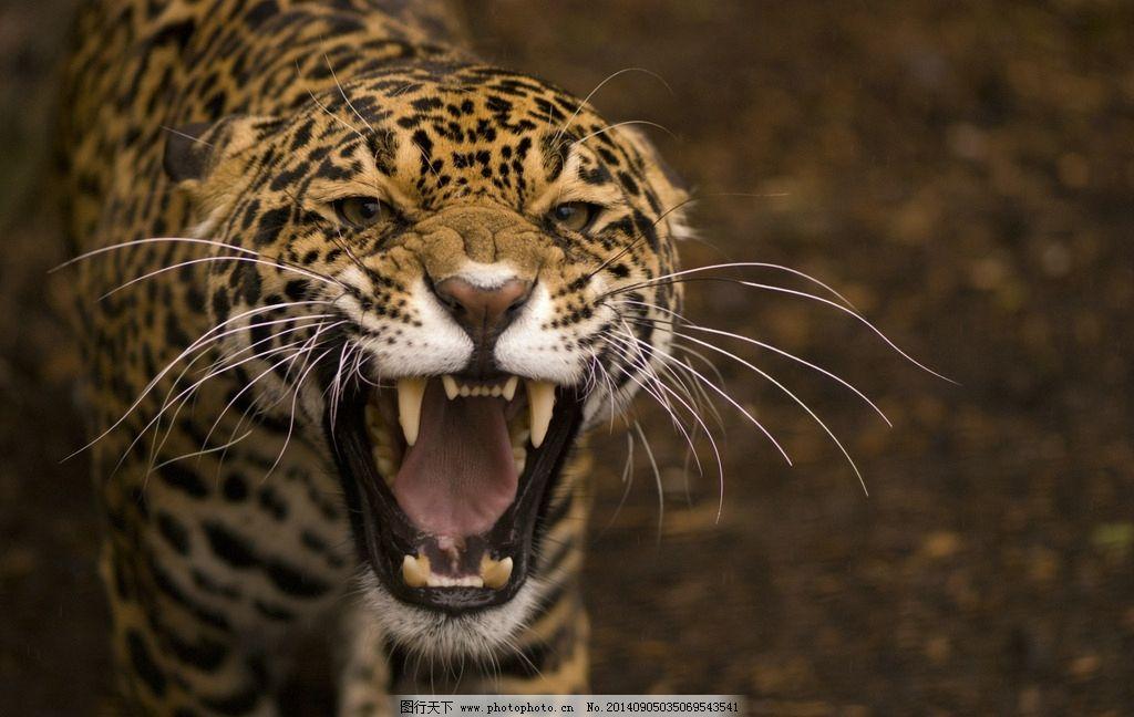 美洲豹图片_野生动物_生物世界