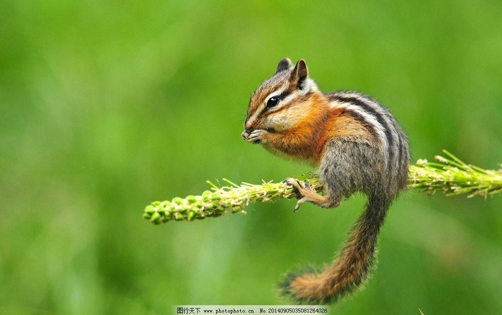 花栗鼠 老鼠 松鼠 鼠类 宠物 可爱 野生动物 生物世界 野生动物 摄影