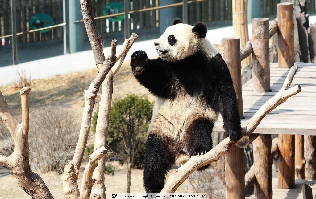 大熊猫 生物 动物 保护动物 野生动物 哺乳动物 动物共享 生物世界
