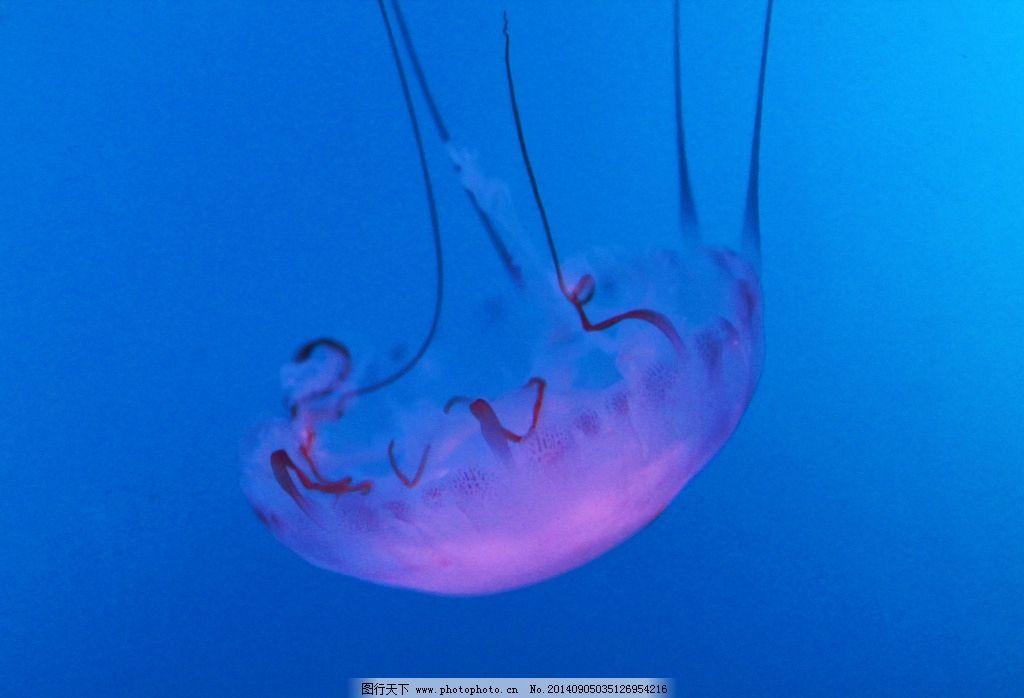水母 海底 摄影 动物 高清 照片