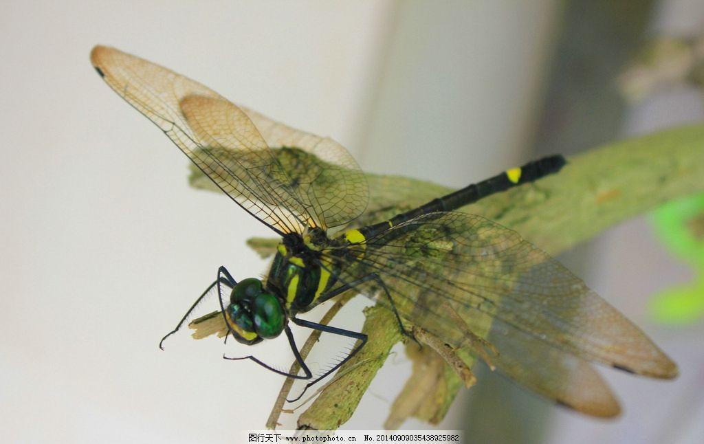 蜻蜓 昆虫 翅膀 点水 微距 生物世界 动物世界 摄影 生物世界 昆虫 72
