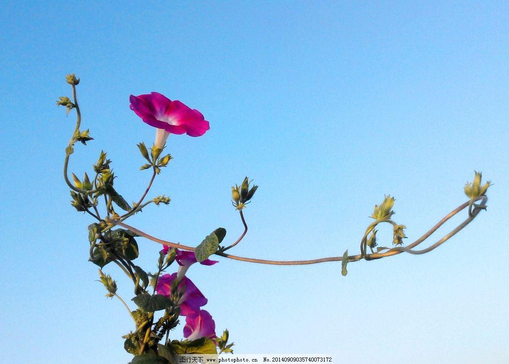 牵牛花 植物花 草花 喇叭花 大自然 花草 生物世界 摄影  摄影 生物世