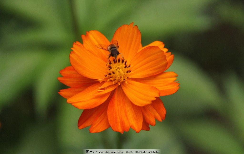 蜜蜂与花朵 蜜蜂 采蜜 花朵 花蜜 花心 公园 花草 生物世界 动物世界
