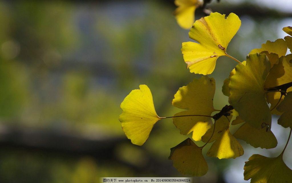 银吉叶 银杏叶 植物 黄色银杏叶 树叶 银杏 树木树叶 生物世界 摄影