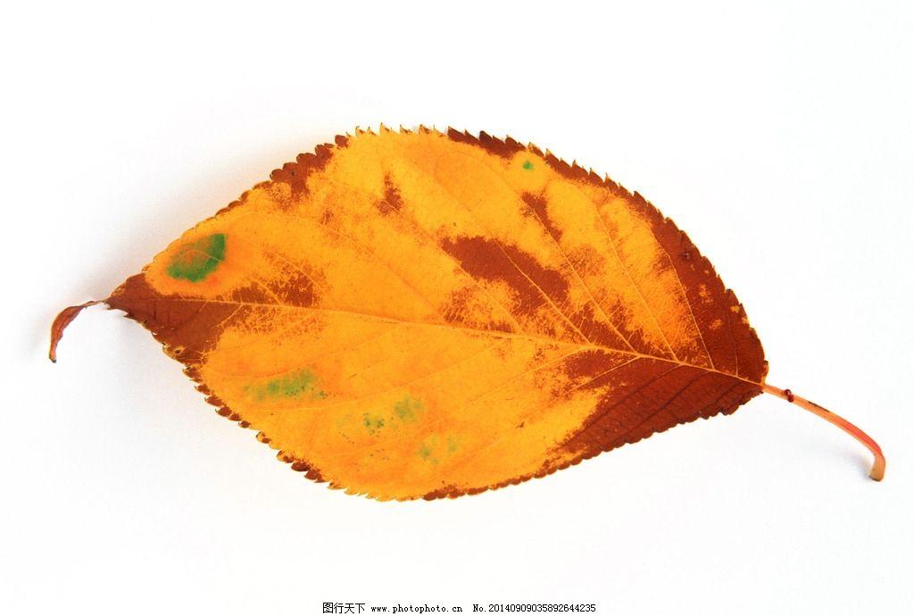 叶子 秋叶 黄叶 落叶 树叶 一片叶子 树木树叶 生物世界 叶素材 摄影