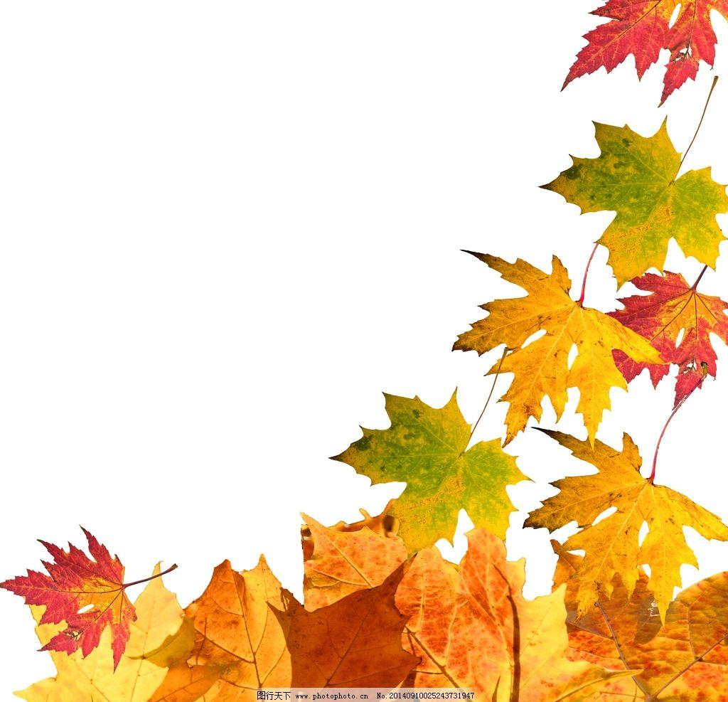 枫叶 树叶 秋天 秋季 秋景 卡片 秋韵 落叶 时尚 背景 树木树叶 生物