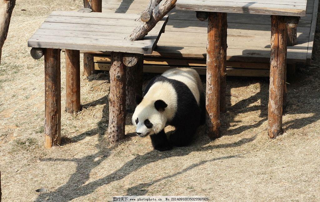 大熊猫 生物 动物 野生动物 保护动物 猫熊 动物共享 生物世界