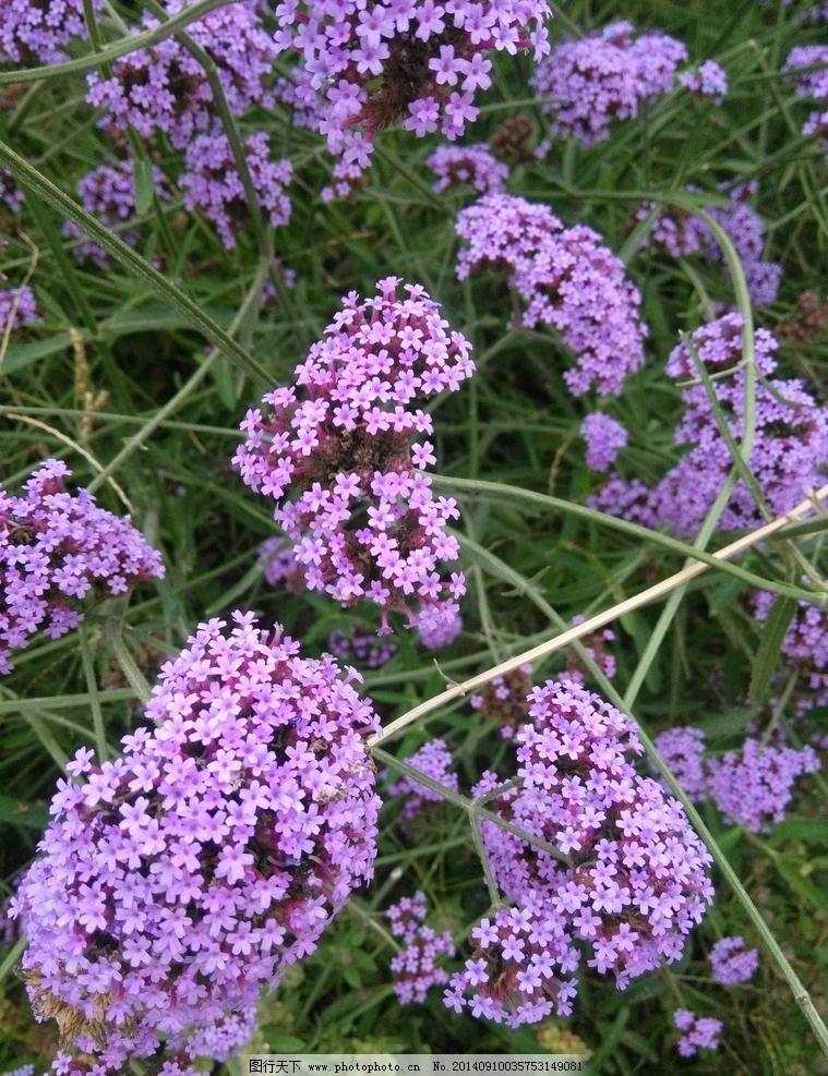 马鞭草 金沙岛 紫色 婚纱摄影 写真 花草 生物世界