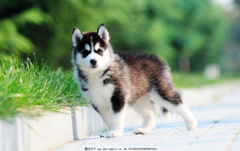 哈士奇 西伯利亚 雪橇犬