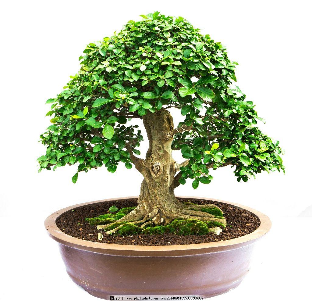 盆栽 盆景 精美盆栽 盆栽模型 室内盆栽盆 花卉植物 树木树叶 生物