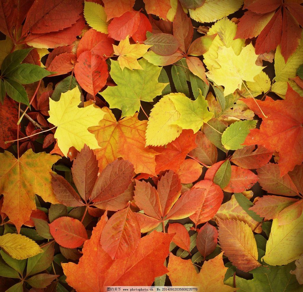 落叶 枫叶 树叶 红叶 秋天风景 秋季 秋景 秋韵 背景 树木树叶 生物