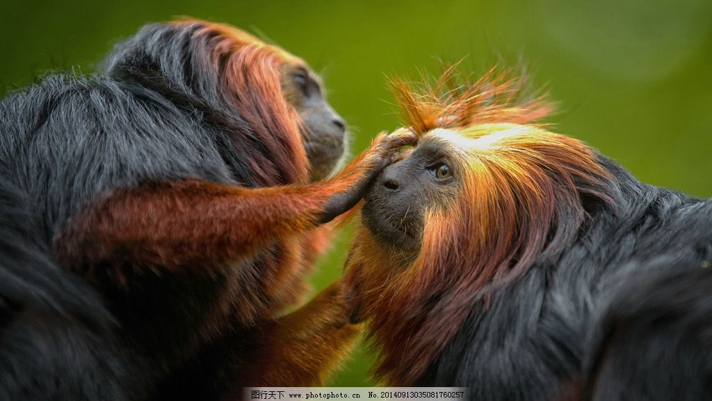 黑猩猩 野生动物 动物 非人工驯养 生物世界 摄影 摄影 生物世界 野生