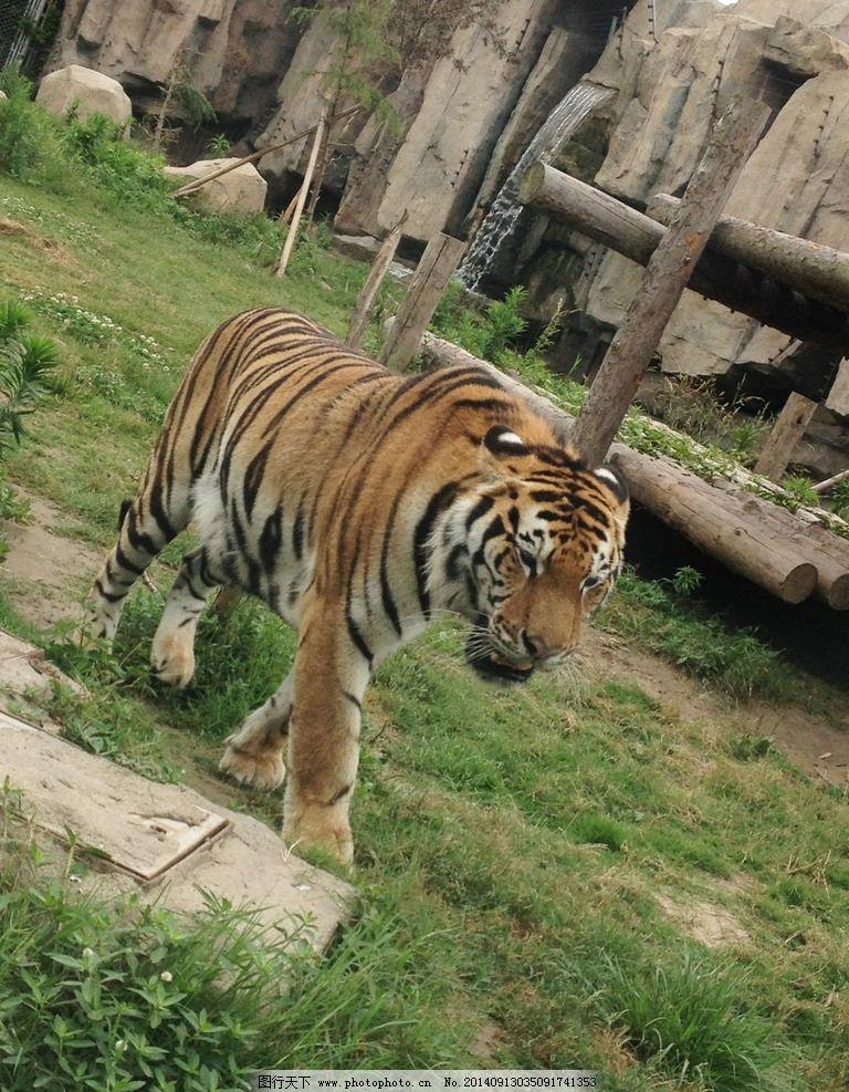 老虎 凶猛 森林之王 动物园 东北虎 野生动物 生物世界 摄影 生物世界