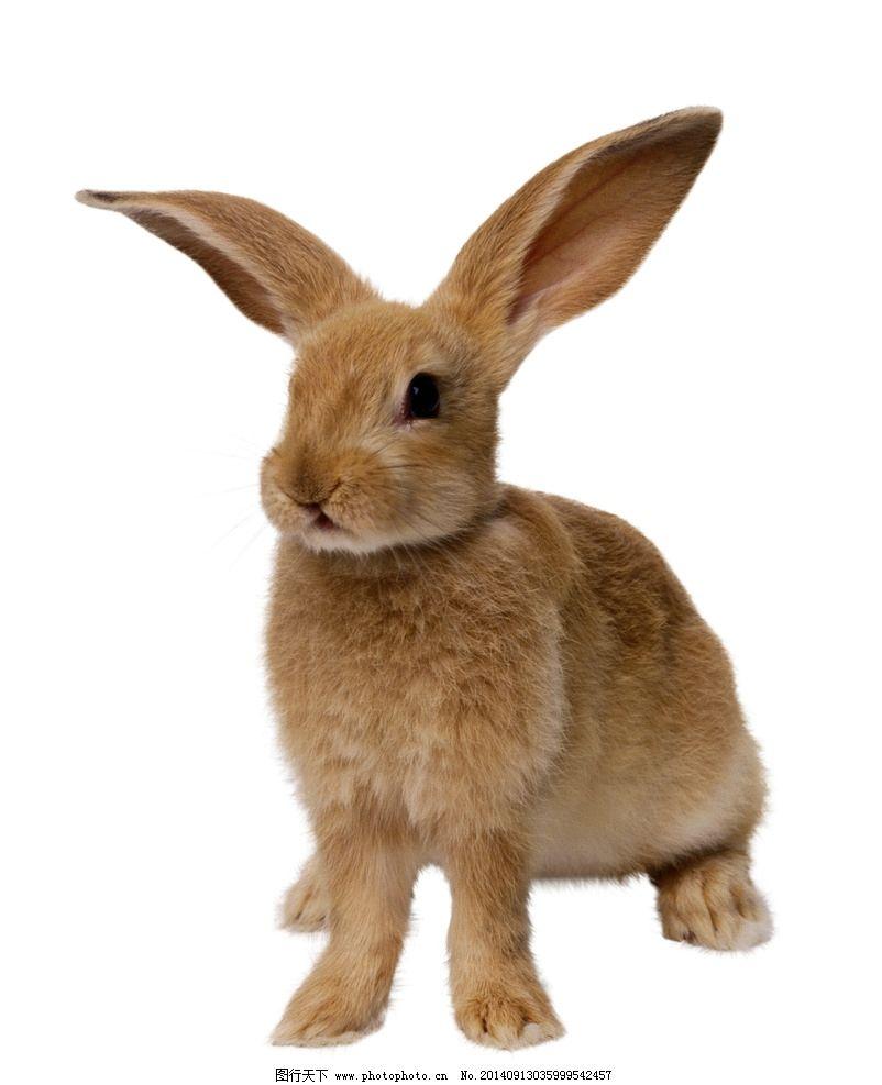 友善动物 可爱 十二生肖 兔子 摄影