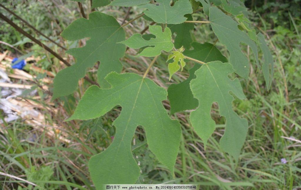构树叶 构树 树叶 掌状叶 粗糙 等 树木树叶 生物世界  摄影 生物世界