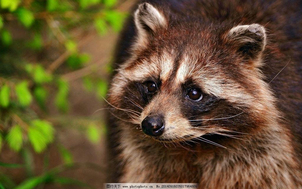 浣熊 小浣熊 动物 可爱 野生动物 生物世界 摄影 生物世界 野生动物
