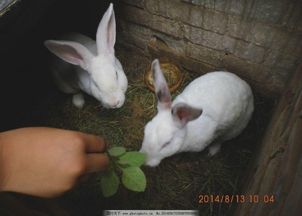 小白兔 小兔 动物 吃草 摄影 影像记忆