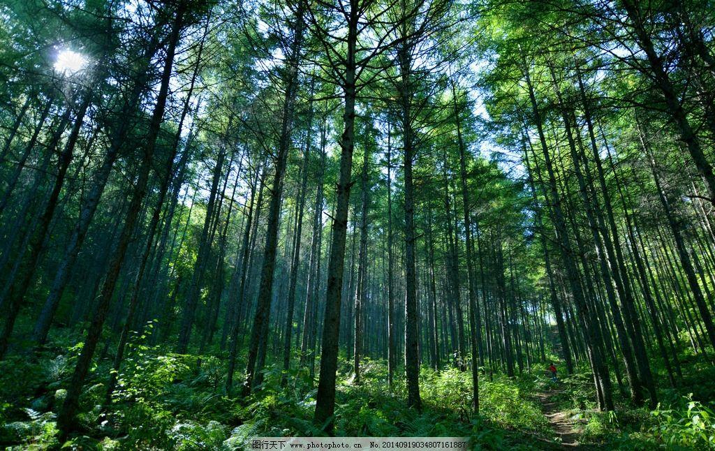 树林 松树 森林 绿色 自然 ★★★ 摄影 自然景观 自然风景 300dpi