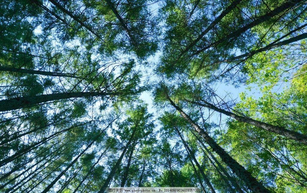 仰拍 树头 树林 松树 绿色 自然 ★★★ 摄影 自然景观 自然风景 300