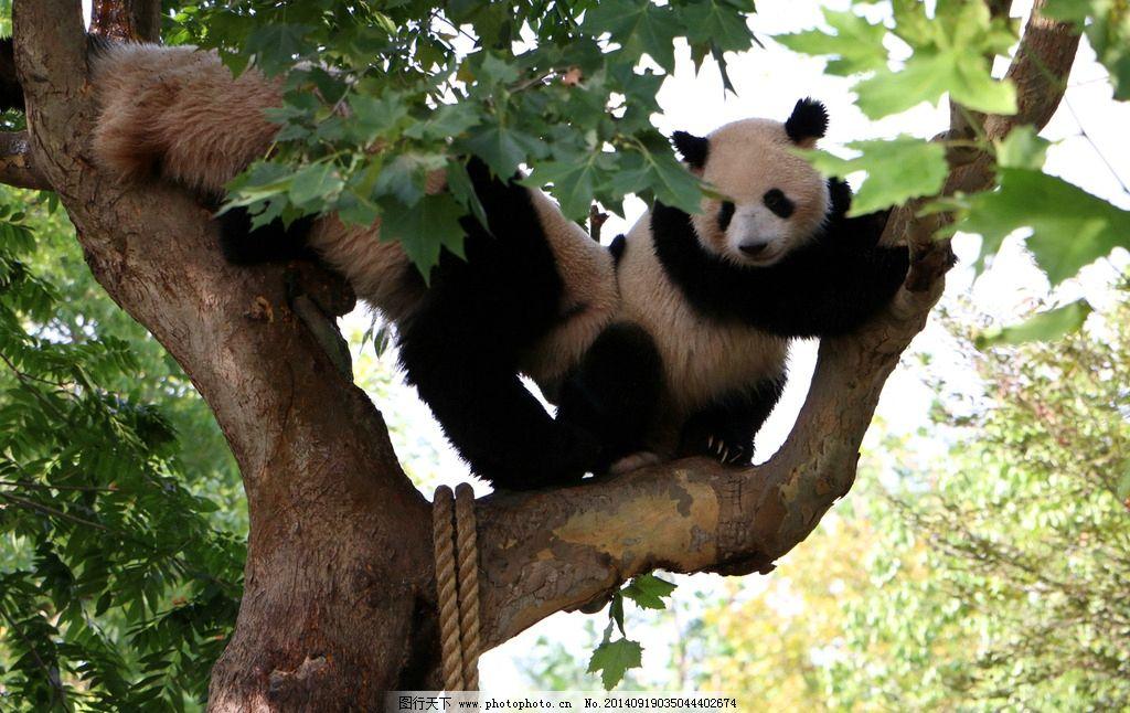 国宝熊猫图片_野生动物