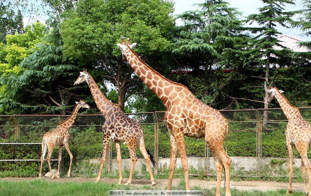 长颈鹿 动物园 野生 游玩 自由拍摄 摄影