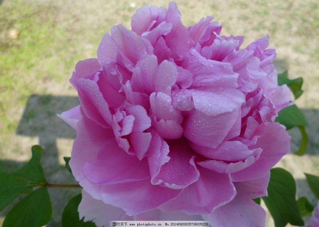 摄影 粉红色/摄影图粉红色牡丹花图片