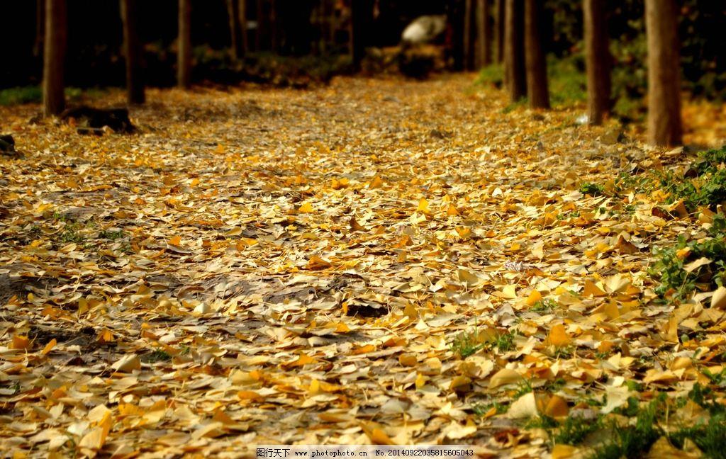 银杏树叶 摄影 植物 白果 公孙树 树木树叶 生物世界  摄影 生物世界