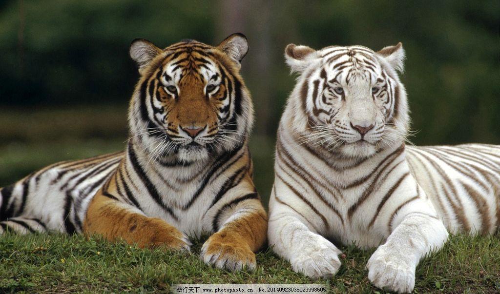 老虎 白虎 两只老虎 动物