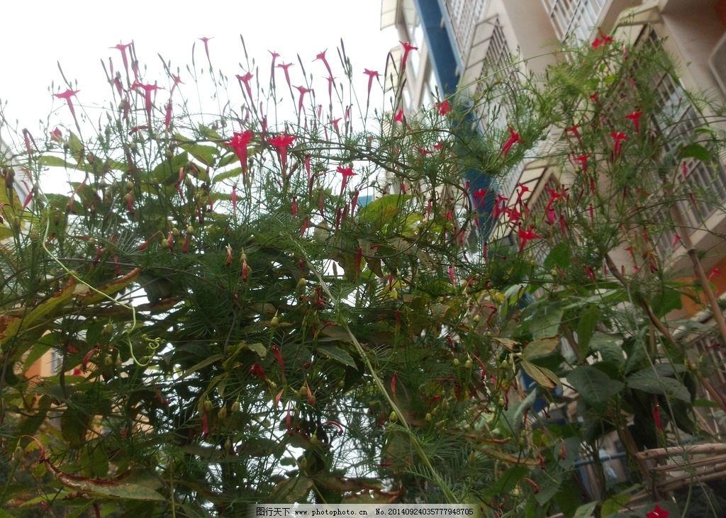 莺萝花 藤蔓植物 藤蔓小花 小红花 红花 藤蔓花朵 摄影图 摄影 生物世