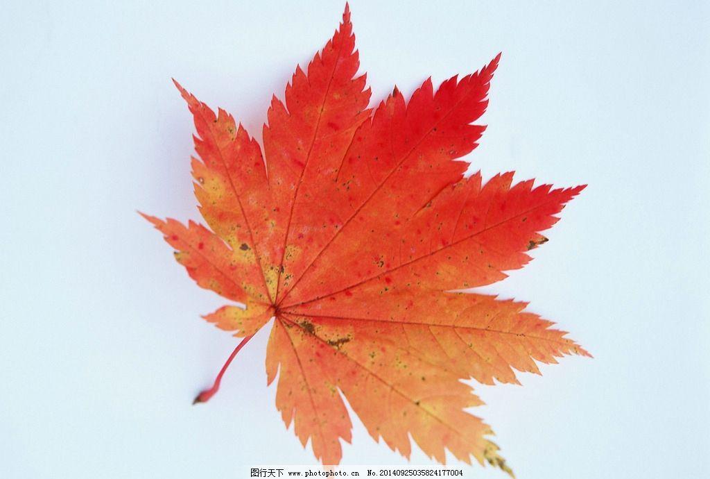 红叶 叶纹 叶片 单片叶 秋天  摄影 生物世界 树木树叶 350dpi jpg图片