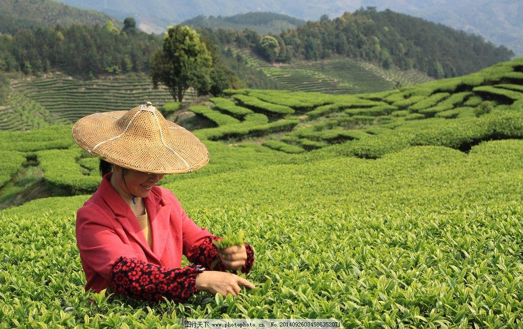 采茶女 茶山风光 茶山 茶树 手工采茶 摄影 自然景观 田园风光 350dpi