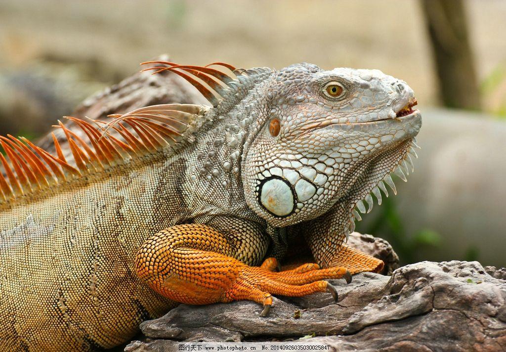 变色龙蜥蜴图片,爬行动物 近景 特写 图片大全 高清
