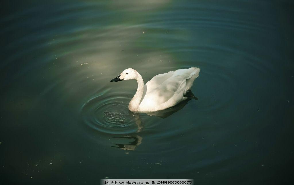 鸭子 动物 游水 倒影 涟漪 哈尔滨 摄影 生物世界 家禽家畜 300dpi